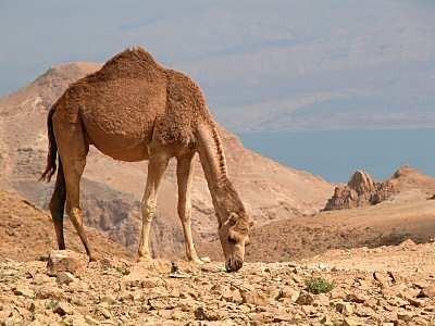 Camello con el Mar Muerto al fondo