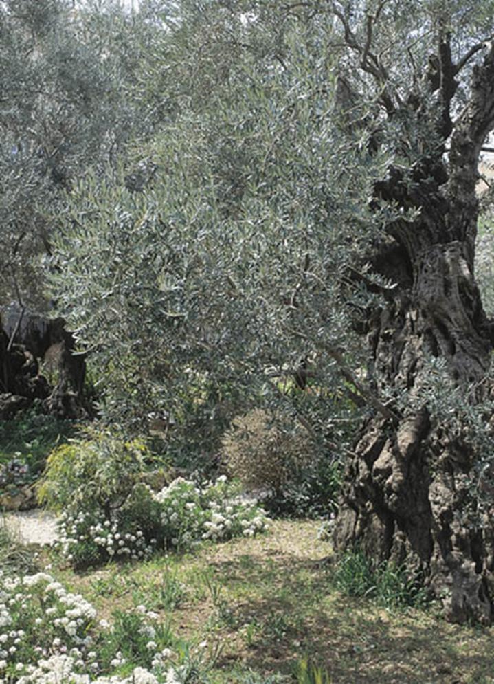 Olivo milenario en el huerto de Getsemaní